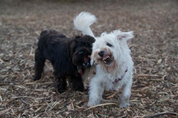 Battling for a stick