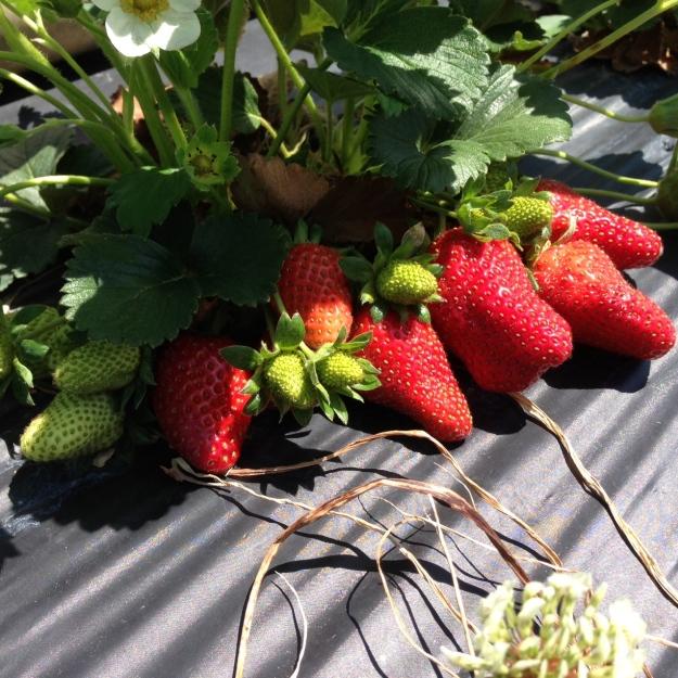 strawberry_plant